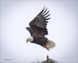 Bald Eagle n Flight Coeur D' Alene ID
