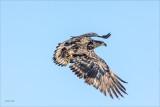Immature Bald Eagle, Lincoln County