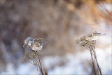 Common Red Polls feeding, Lincoln County