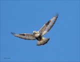 Rough Legged Hawk Hunting a sunny day Lincoln County