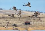 Geese Take Off From Reardan WA