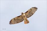 Red Tail in flight, Reardan, WA