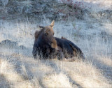 Moose morning, Eastern Washington