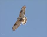 Rough Legged Hawk Highlighted Eastern WA