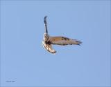 Rough Legged Hawk in Sun Lincoln County