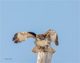 Red Tail Hawk-time to go Lincoln County.jpg