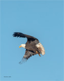 Bald Eagle takes flight v2.0 Douglas County WA.jpg
