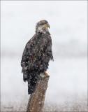 Bald Eagle in snow, North Idaho