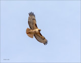 Red Tail Over Lincoln County, WA.