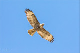 Red Tail Over Fly Whitman County WA