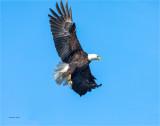 Bald Eagle Whitman County WA