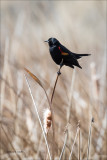 Red Wing Blackbird Harbinger of Spring Whitman County WA