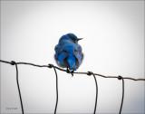 Blue Bird, Western Montana