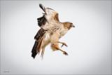 Red tail hawk, Lincoln County WA