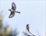 Loggerhead Shrike, Lincoln County, WA