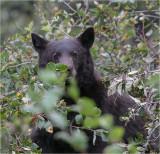 Black bear foraging, Montana