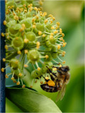 Collecting pollen on Ivy