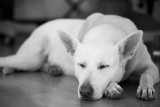 Holly : White German Shepherd : Resting