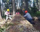 Simonds #520 on a larger log