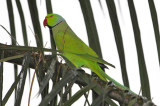 Rose-ringed Parakeet ( Psittacula krameri )