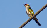Didric Cuckoo / Diederikkoekoek