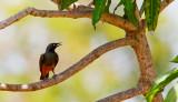 Chestnut-bellied starling / Roodbuikglansspreeuw