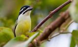 Yellow-rumped tinkerbird / Geelstuitketellapper