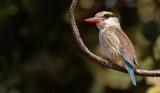 Striped kingfisher / Gestreepte ijsvogel