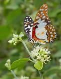 White Lady Swallowtail / Graphium angolanus