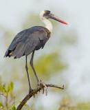 Woolly-necked stork / Bisschopsooievaar