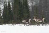 caribous_des_bois__woodlands_caribous