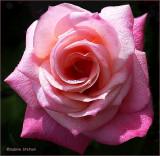 newborn rose.jpg