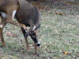 Even deer itch