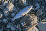 25 April 2017 - A nice fat rainbow trout provides dinner for two
