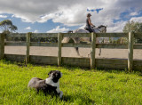 27 April 2017 - getting the dog to look at the horse and rider rather than me was the challenge