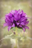 GLOBE BELL-FLOWER_0066.jpg