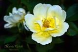 YELLOW KNOCKOUT ROSE_7045jpg