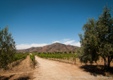Grapevines & Olive Trees