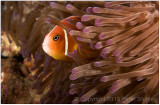 Pink skunk anemonefish.