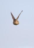Sedge Warbler, songflight
