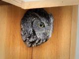 'Harriet' the Eastern Screech Owl