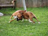 Boxer Playtime
