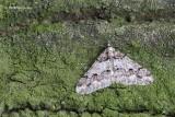 Agriopis leucophaearia - Kleine Voorjaarsspanner 2.JPG