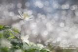 Anemone nemorosa - Bosanemoon 1.JPG