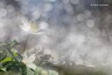 Anemone nemorosa - Bosanemoon 2.JPG