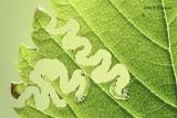 Aproceros leucopoda - Iepenzigzagbladwesp 2.JPG
