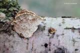 Coriolopsis gallica - Bruine Borstelkurkzwam 3.JPG