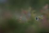 Ruppels Warbler