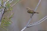 Eastern Bonelli's Warbler