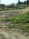 Spur-winged Plover at Oroklini